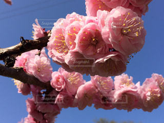 梅の花の写真・画像素材[1177525]