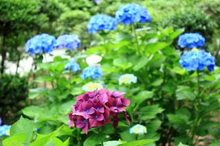 植物の紫色の花の写真・画像素材[1237228]