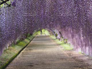 福岡県河内藤園の藤棚の写真・画像素材[1501124]