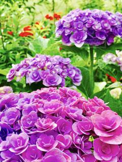 紫陽花 - No.580451