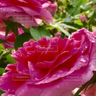 花の写真・画像素材[582123]
