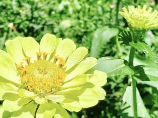 黄色い花のアップの写真・画像素材[763583]