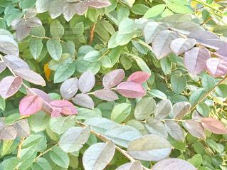 カラフルな葉の写真・画像素材[763588]