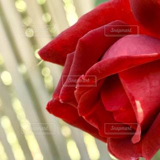 深紅のバラのアップの写真・画像素材[763590]