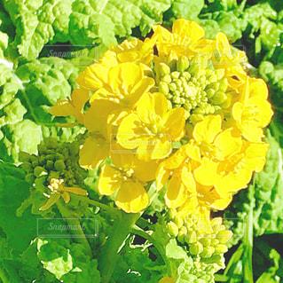 菜の花の写真・画像素材[1016810]