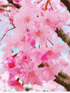 桜の写真・画像素材[1018741]