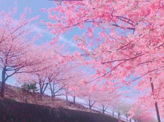 河津桜並木の写真・画像素材[1038808]