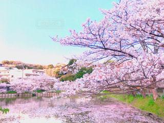 ピンクに染まる谷戸池の写真・画像素材[1095227]