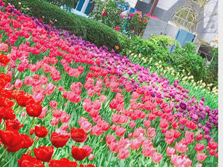 カラフルなチューリップ ガーデンの写真・画像素材[1117216]