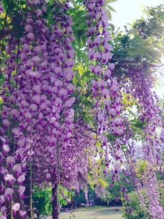 藤の花の写真・画像素材[1139644]