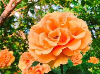 鮮やかなオレンジ色のバラの写真・画像素材[1174370]