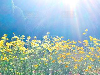 黄色いコスモスたちの写真・画像素材[1610396]