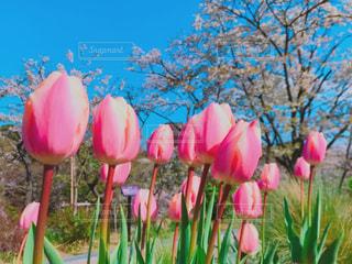 チューリップと桜の写真・画像素材[1893751]