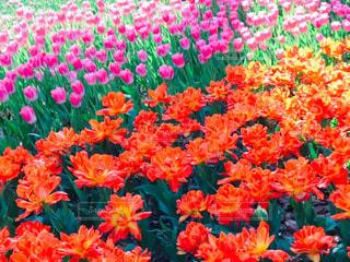 横浜公園のチューリップの写真・画像素材[1998047]