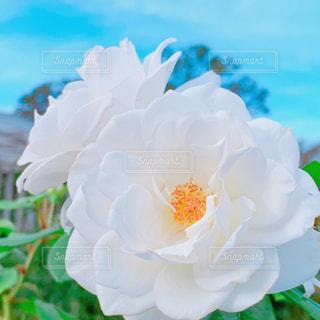 白い秋バラの写真・画像素材[2649230]