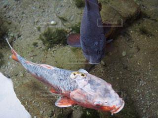 鯉の写真・画像素材[611627]