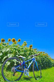 ひまわり畑の写真・画像素材[713437]