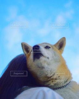 柴犬の写真・画像素材[582050]