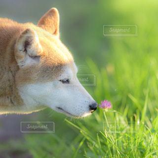 芝生の上の犬の地位の写真・画像素材[718554]