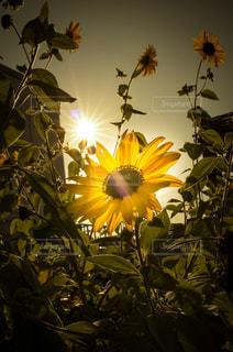 植物の花の花瓶の写真・画像素材[737158]