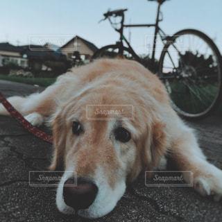 犬の写真・画像素材[157441]