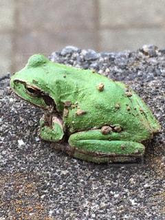 カエルの写真・画像素材[582521]