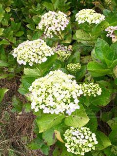 No.582783 白い紫陽花