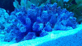 サンゴの写真・画像素材[601662]