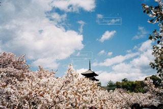 桜の写真・画像素材[583716]