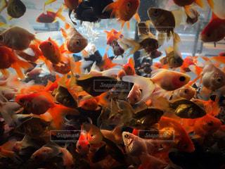 群がる金魚の写真・画像素材[859904]