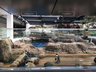 ペンギンの写真・画像素材[585575]