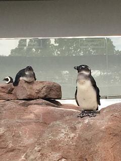 ペンギン - No.585577