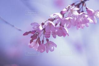 桜の写真・画像素材[1114907]