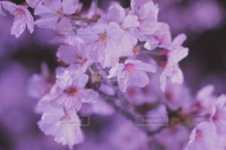 夜桜の写真・画像素材[1114908]