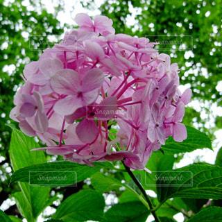 紫陽花の写真・画像素材[2075637]