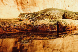 近くに爬虫類のアップの写真・画像素材[1191460]