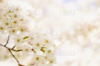 白と黄色の米の写真・画像素材[1191463]