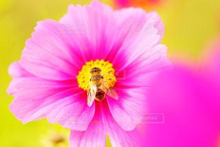 コスモスと蜂の写真・画像素材[1558172]