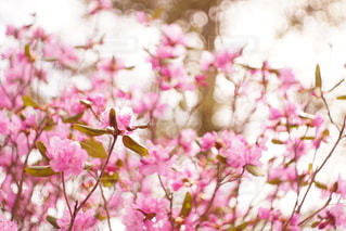つつじの花の写真・画像素材[2091139]