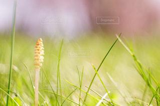 つくしも芽を出すの写真・画像素材[2091140]