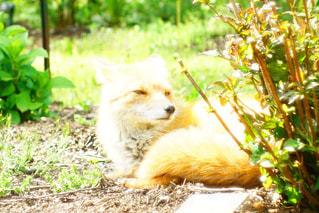 草の中に座っているキツネの写真・画像素材[2832183]