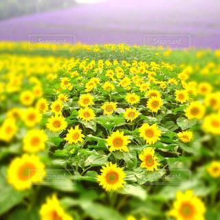 花畑の写真・画像素材[588047]