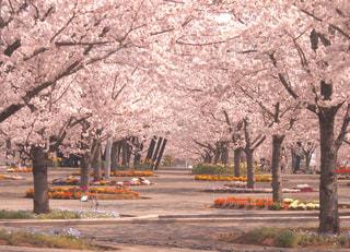 桜並木の写真・画像素材[1102470]