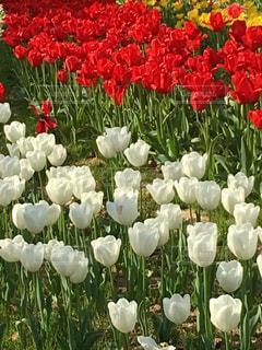 チューリップ  花畑  公園  赤  白  赤いチューリップ  白いチューリップ  綺麗  きれい  あざやかの写真・画像素材[587289]