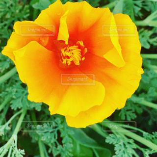 花  はな  かわいい  一輪  夏の写真・画像素材[604016]