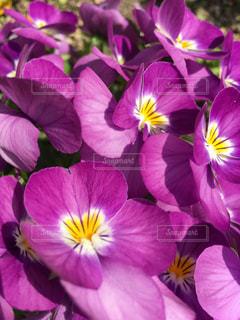 花  はな  ムラサキ  むらさき  美しい  夏の写真・画像素材[604019]
