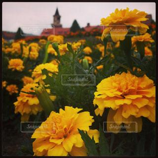黄色の花とヨーロピアンの写真・画像素材[587871]