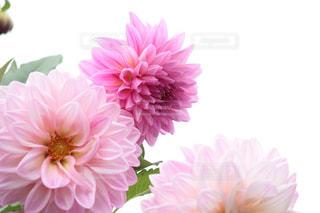 ピンクの花で一杯の花瓶の写真・画像素材[706802]