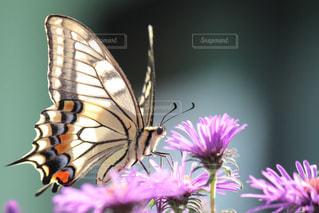 アゲハ蝶の写真・画像素材[739165]