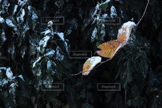 初雪の写真・画像素材[878007]